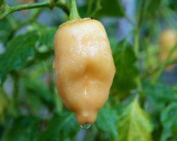 Aji Peach Fantasy Chilli Seeds