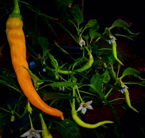 Solar Flare Space Chilli Seeds