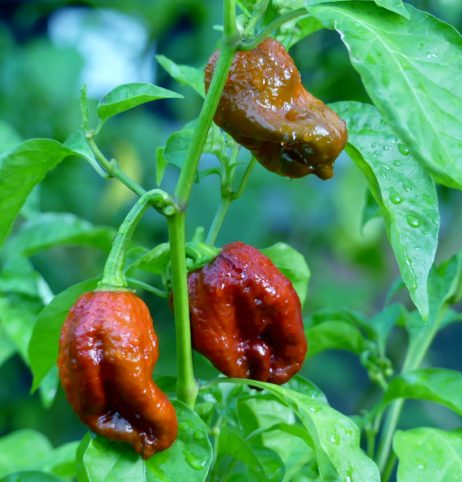 7 Pot Congo Gigantic Brown chilli seeds