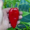 Barbara's Antipodes chilli seeds