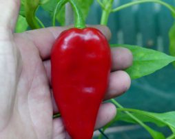 Barbara's Antipodes chilli seeds