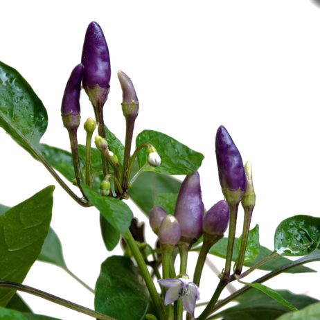 Purple Candlelight Chilli Seeds