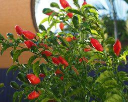 Tabanaga Chilli Seeds