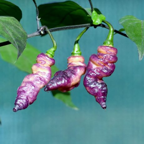 Thor's Thunderbolt Chilli Seeds