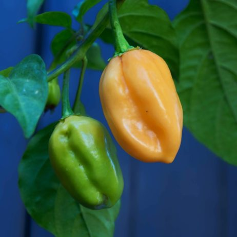 Jobito x BBG Chilli Seeds