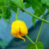 Yellow Reaper Chilli Seeds