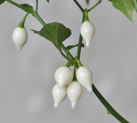 white chupitinho chilli seeds