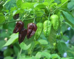 Chocolate Bhut Chilli Seeds