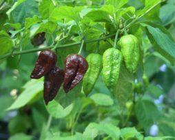 Chocolate Bhut Chilli Seeds