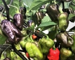 Purple Ghost Scorpion chilli seeds