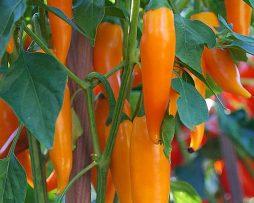 Bulgarian Carrot chilli seeds