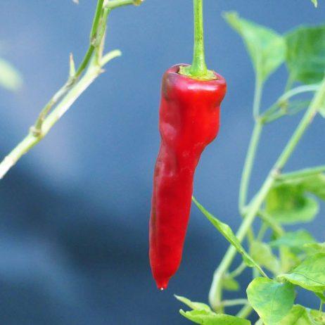 Haskorea Pepper chilli seeds