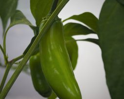 Jaloro Jalapeno Chilli Seeds