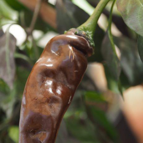 Brown Thai TQ Chilli Seeds