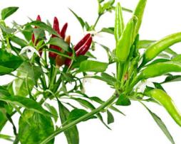 Thai Super Chilli seeds