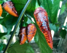 Hallows Eve Chilli Seeds